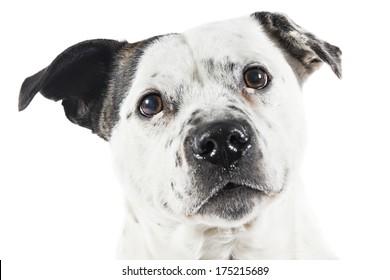 Bull terrier type Dog on white background
