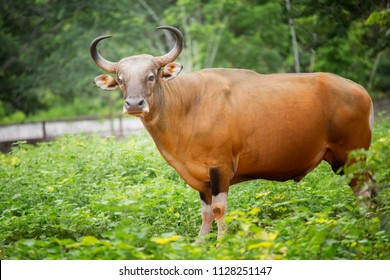 Bull in thailand in green countryside.