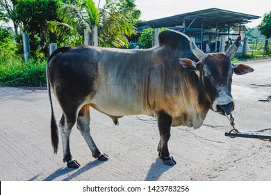 bull is walking exercise in the morning at Phatthalung Thailand.