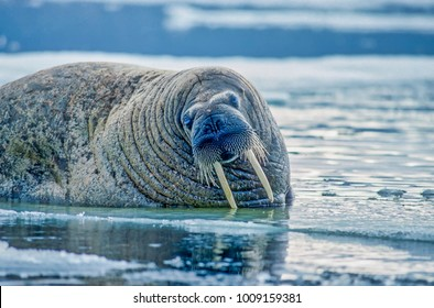 Bull walrus on ice floe