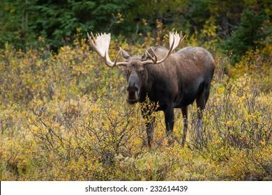 Bull Western Moose portrait (Alces alces andersoni). Alberta, Canada, North America.