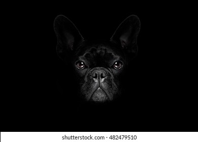 bulldog dog isolated on black dark dramatic background looking at you frontal, isolated