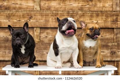 bulldog dog on a wooden background