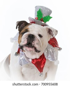 bulldog dressed up with christmas hat on white background