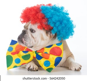 bulldog dressed like a clown on white background