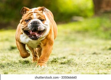 bulldog english run pet funny training move power purebred english bulldog move toward the camera ragged face closeup bulldog english run pet funny training move power courage fast rapid nose toward f