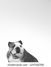 Bulldog face in black and white. Funny and wrinkly dog face. Copy space.