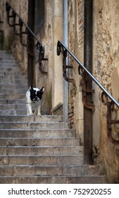 Bulldog going downstairs in Girona, Spain