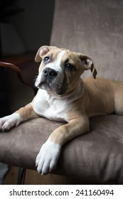 Bulldog Mix Puppy Sitting on Chair and Looking Outside, Waiting