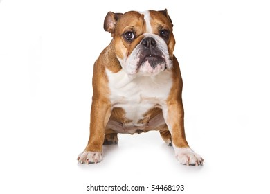 Bulldog on isolated on white