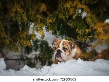 bulldog on snow