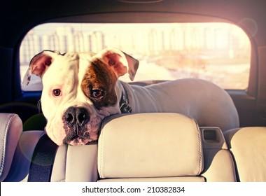 bulldog p in the car truck