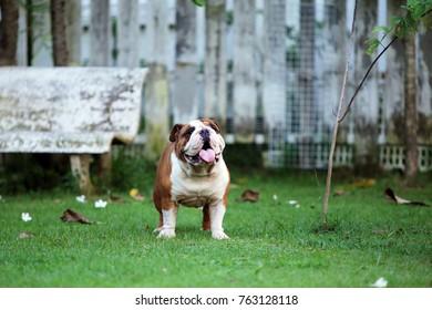 Bulldog in the park