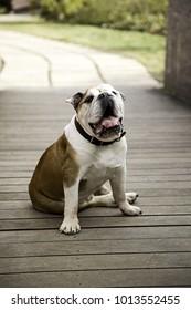Bulldog in park playing and walking, pedigree animals