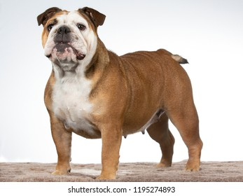 Bulldog portrait. Image taken in a studio with white background.
