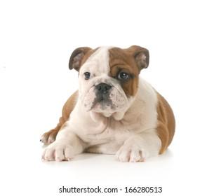 bulldog puppy - 10 week old female