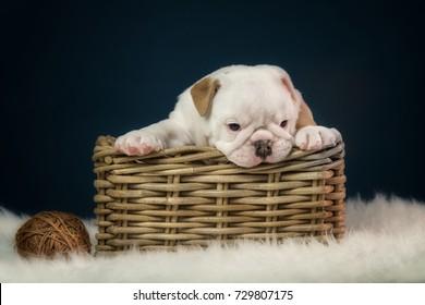 bulldog puppy