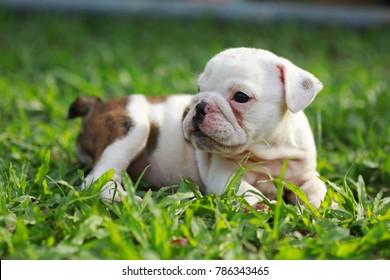 bulldog puppy enjoy life on greensward
