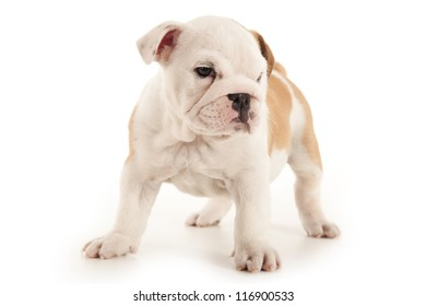 Bulldog puppy standing on white background