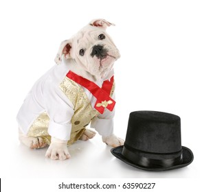 bulldog puppy wearing formal shirt sitting beside black top hat with reflection on white background