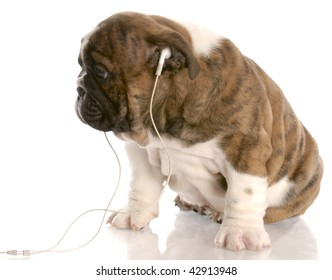 bulldog puppy wearing headphones listening to music with reflection on white background