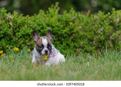 Bulldog puppy with yellow flower in mouth