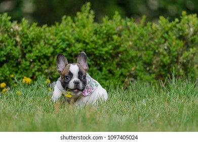 Bulldog puppy with yellow flower in open mouth. Cute best friend.