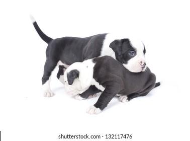 Bulldog pups playing on white background