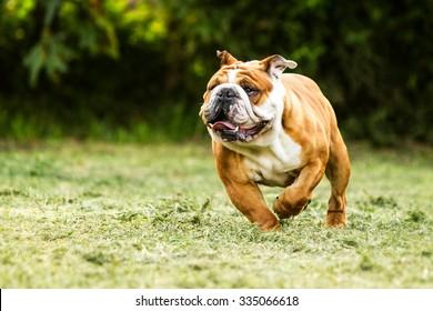 bulldog run english adult male purebred english bulldog running toward the camera low angle bulldog run english courage pet fast rapid nose toward fat hilarious camera head running funny training powe