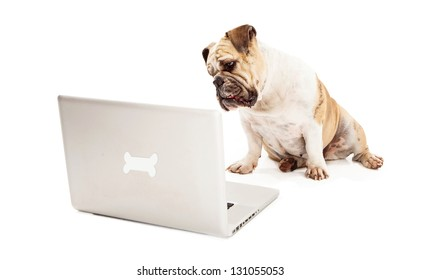 A Bulldog sitting against a white backdrop looking at a laptop computer that has a bone logo on the back of it