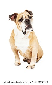 Bulldog sitting down against a white background with a confused look on his face