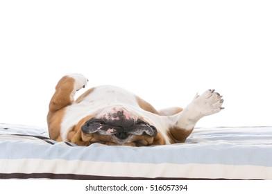 bulldog sleeping in the bed