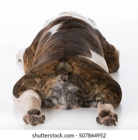 bulldog sleeping viewed from the backside on white background