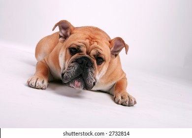 Bulldog staring straight into the camera