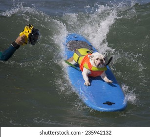 Bulldog Surfing and getting photographed