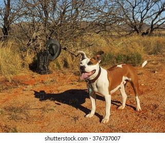Bulldog terrier cross stands in the desert