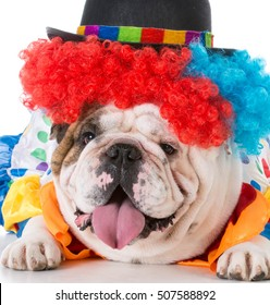 bulldog wearing clown costume on white background
