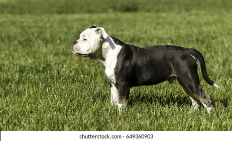 Bulldogge Achilles 4 months old while playing on a green meadow in sunlight!