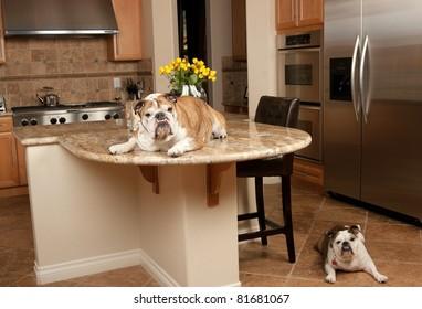 Bulldogs in the kitchen