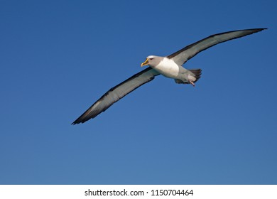 Buller's Albatross, gliding along the Kaikoura coast, New Zealand. A clear blue sky behind.