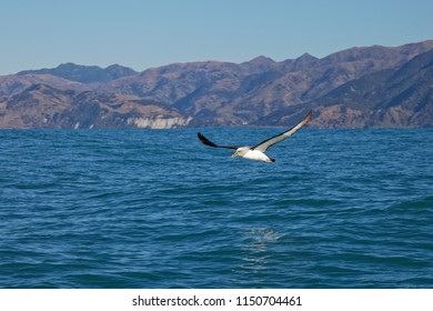Buller's Albatross, skimming over the waves along the Kaikoura coast, New Zealand. A clear blue sky behind.