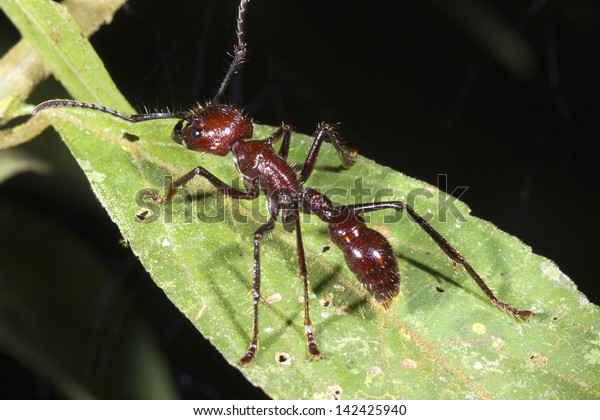 Bullet or Conga Ant (Paraponera clavata) in the rainforest, Ecuador.