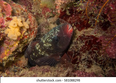 Bullethead parrotfish (Chlorurus sordidus) sleeping inside a mucus cocoon on the Great Barrier Reef.