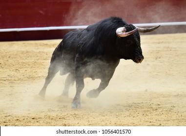 bullfight  in spain with black bull