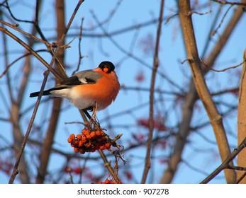 Bullfinch eating rowanberry
