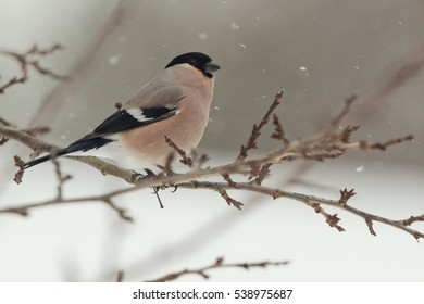 Bullfinch (female) on the branch