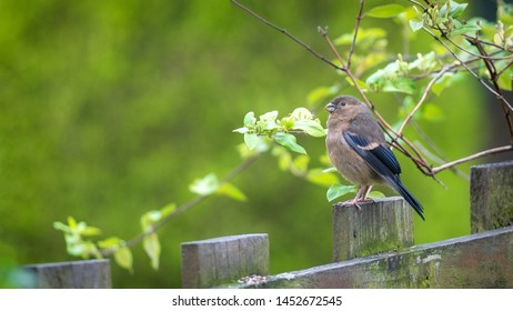 Bullfinch fledgling perched on a wooden fence among green leaves