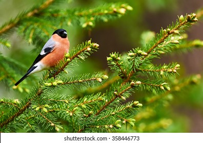 bullfinch male perched on a small pine tree branch in a Finnish forest