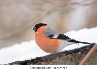 Bullfinch on a branch, Winter Russia village, Tambov, winter