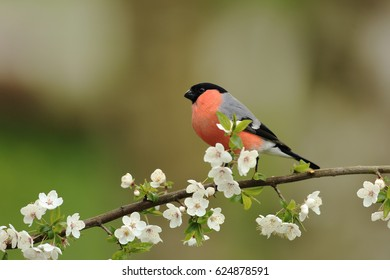 Bullfinch on flowers in spring